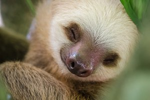 Sleeping sloth in a tree