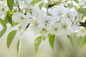 Pear blossoms on a branch