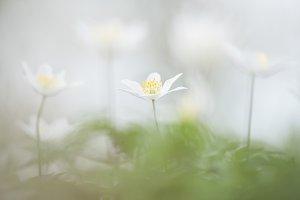 Wild wood anemone flowers