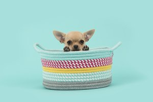 Chihuahua puppy dog in basket