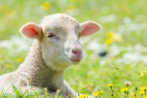 Cute little lamb