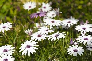 Flower group Osteospermum