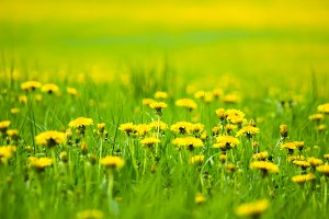 Field with yellow dandelions, a panoramic background of nature. Selective focus