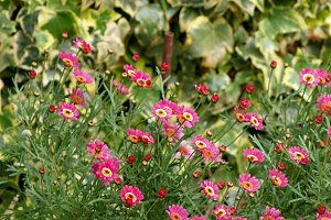 pink daisies and ivy in the garden