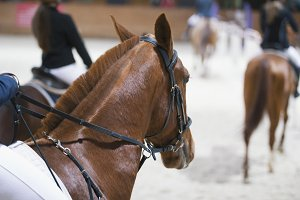 Head of chestnut young stallion in the competition