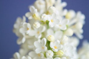 Beautiful Lilac on the colored background