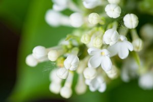 White flowers of lilac on nature.