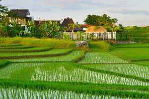 rice fields at sunset. Bali  island
