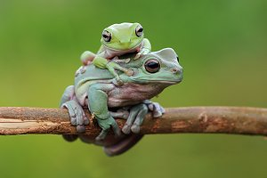 Two Frogs On Twigs
