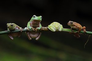 Four Frogs Above The Bough