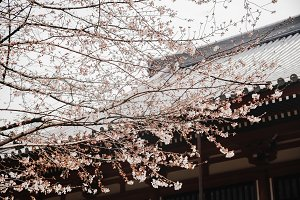 Sakura with Japan House