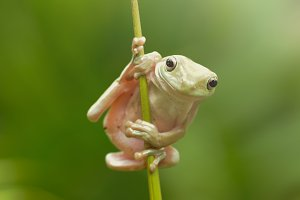 tree frogs on twigs
