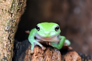 tree frogs on twigs, frog, tree frog