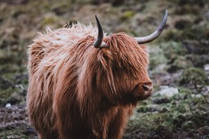 Highland Cow on a Field