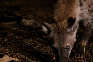 Feeding of spotted hyenas, Harar Ethiopia