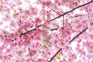 Spring time branch of Cherry blossom