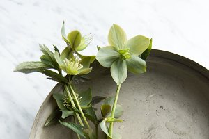 Helleborus - flowers - Stock photo