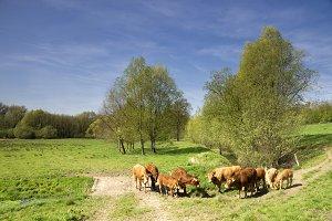 Cows in the Geleenbeek valley
