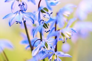 blue star scilla siberica on meadow