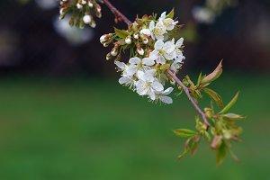 Flowering cherry twig