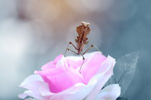 Mantis on Flowers