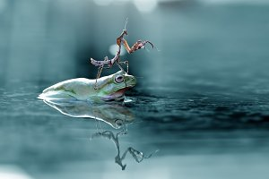 Mantis on Dumpy Frog