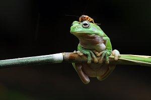 Dumpy Frog wit Cricket