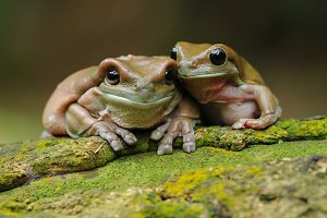 Two Dumpy Frog