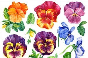 Colored pansies flowers
