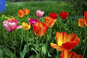 Red tulips in the garden.