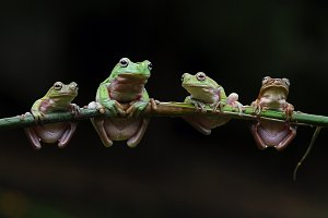 Four Frogs Up Twigs