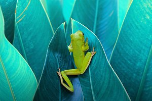 Frog in Between the Leaves