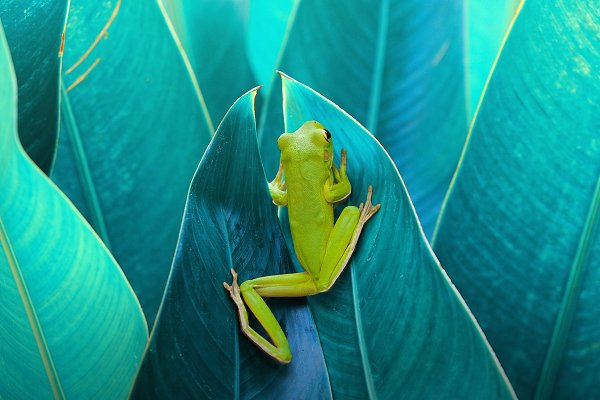 Animal Stock Photos - Frog in Between the Leaves