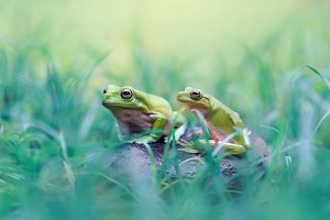 Two Frogs on a Rock in the Grass