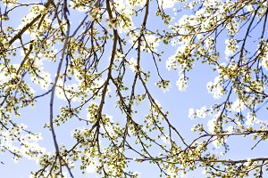 Blooming tree. Branch of a blooming