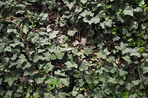 ivy plant background