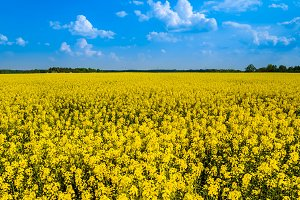 Field of yellow rape flowers
