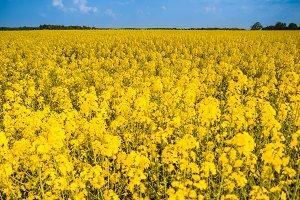 Field of yellow rape flowers