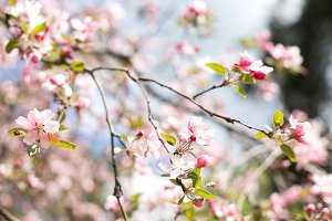 Blooming tree with pink flowers