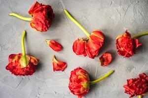 Red princess tulip flower concept