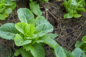 lettuce in garden vegetable backyard home