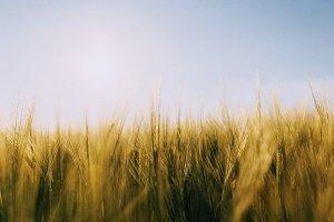 Soft Barley Closeup