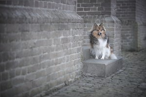 Sheltie in front of a church