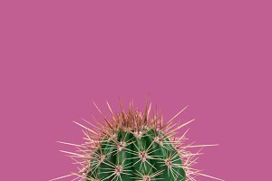 Cactus in Pink