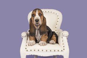 Basset puppy in a chair
