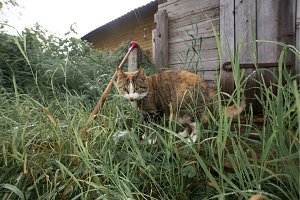 Funny redhead cat in cozy summer village environment