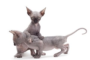 two sphinx kitten