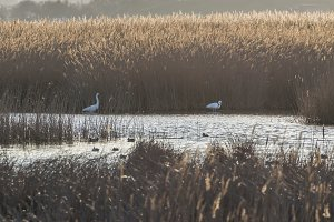 White herons in cane