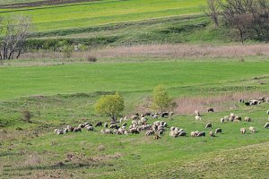 Sheeps on green pasture