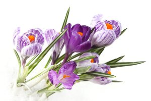 spring bouquet of crocus